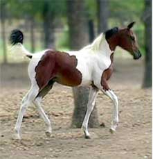 5 month old Pinto Arabian Filly