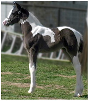 black and white pinto paint arabian filly