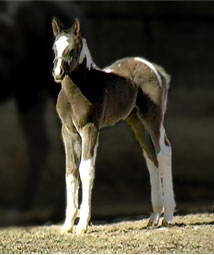 2008 Black and White Tobiano Pinto Arabian Filly