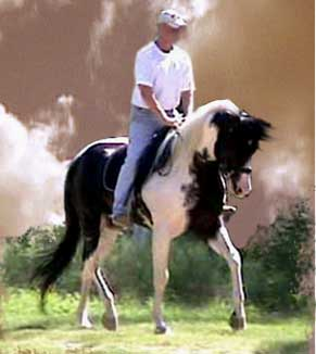 arabian horse for sale uk