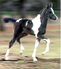Black and White Pinto Arabian Filly