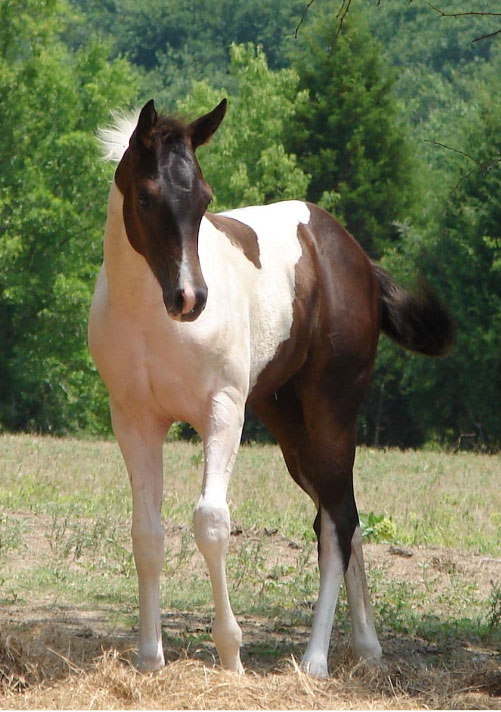 Quarter Horses For Sale In Texas With Photos ... Jumper Dres...